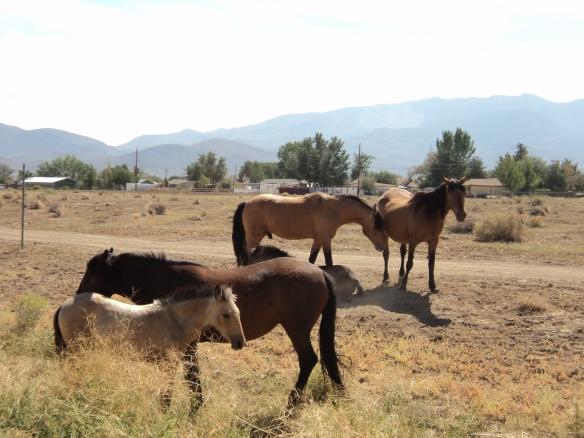 wild horses in Dayton (12)
